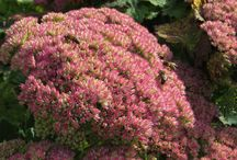 Perennials, reliable & hardy / Plants for town and country