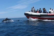 Dolphin Watching in Portugal / Along the Portuguese Sounth and West Coast, many cetaceans (whales and dolhpins) may be found. From Sagres to Setúbal, several kind of boats, like catamarans and semi-rigid speed boats, can take you on a dolphin watching adventure.