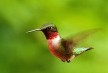 Hummingbird / by Fiona Greenwood
