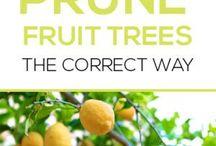 Fruit trees pruning