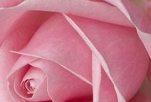 Růžová - Pink / Růžová - Pink