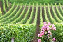 Paysages de vignes /