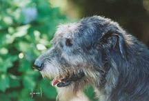 Want an Irish Wolfhound