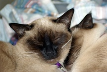 Siamese Cats / by Laura Nolte