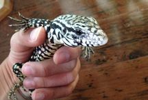 tegu and other big reptiles