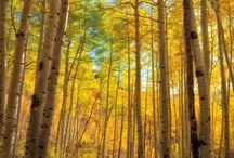 * Forest + Trees * / Aspen, Birch, Beech & Other Magnificent Trees