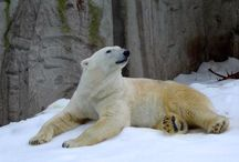 Snow @ the zoo / Snow for Ice bear