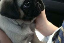 Pugs and pups <3