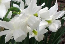 Plant now for Spring Color / Some bulbs to choose from for spring color in your yard nothing feels more like spring then tulips, crocus and daffs popping up just after the snow leaves