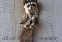 Raccoon Obsession
