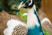 How to raise peafowl