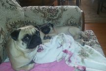 Our Pugs