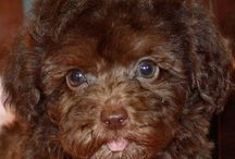 Chocolate Poodle pup ❤️