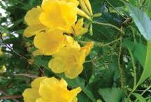 Hedging and screening plants / Pins of hedging and screening plants from Evergreen Growers and around the web.http://www.evergreengrowers.com.au/index.php/hedging-screening-c-22