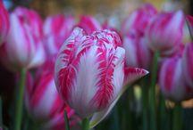 Tulips in winter