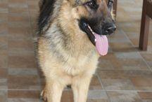 Sadie / My clever, beautiful, player German shepherd.