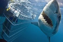 Great White Sharks / Great pics of Great Whites and shark cage diving