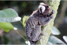 Visitantes da mata / Apareceram no final da tarde em ARUJÁ - SP. Horas observando os micos na mata.