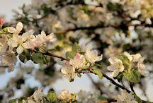 цветы яблони и вишни