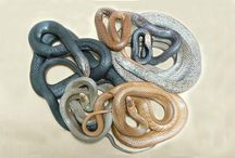 Snakes found on Gold Coast