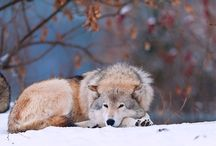 I Love Wolves / by Ron Mayhew