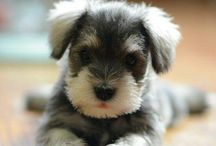 my future puppy-minature schnauzer