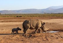 Rhino Cub at Inverdoorn / Giving renewed hope to these endangered species!