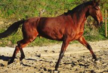 KANELLA / Show jumping mare 7 years