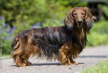 #1 Devoted Doxies / by Deb Osher
