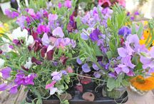 Sweet Peas / We grow 60 varieties and these are some images that will give me ideas for display and growing.