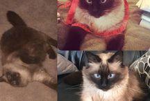 June is Siamese Cat Month