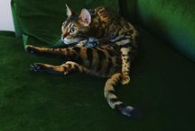 Bubbles the Bengal cat