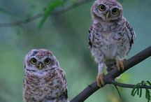 Pöllöt / Birds are fascinating creatures. Especially owls, everyone of them looks different.