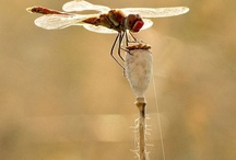 "dragon..dragon..dragonflies!  / ""The dragonfly brings dreams to reality and is the messenger of wisdom and enlightenment from other realms. """