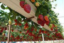 Grow strawberries / Gutter strawberries
