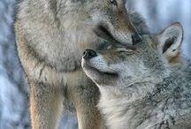 De wolf en Ronin