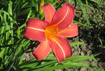 Daylilies / by Debbie Powell Collins