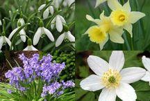 Bulbs / Flower Bulbs by Ashridge Nurseries. For more info check out www.ashridgetrees.co.uk/flower-bulbs