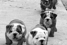 Future english bulldog