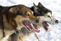 Mushing and Dog Sledding / The Iditarod Trail Sled Dog Race, the Yukon Quest, and other dog sledding ventures