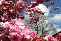 Sakura Love!
