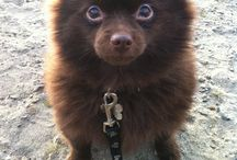 Love Pomeranians! / by Misty Goodwin