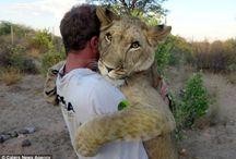 "Lion Whisperer / Kevin Richardson ""The Lion Whisperer"" and others."