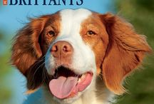 Brittany Spaniel / Brittany Spaniel photos and gift ideas.