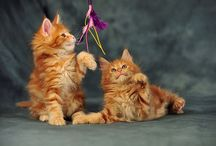 Cute small maine coon kittens / Maine coon kittens up to 3 months, cute baby kittens