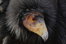 ACTUAL Condors! / by Bakersfield Condors