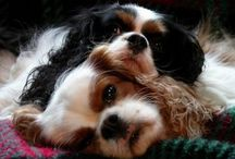 ~ Cavaliers & Other Cuties ~ / Precious Cavaliers / by LoLo G
