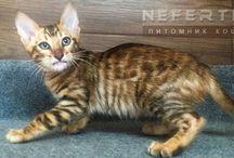 NEFERTEE - питомник кошек редких пород