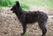 Ardennes Cattle Dog / Ardennes Cattle Dog breed pictures