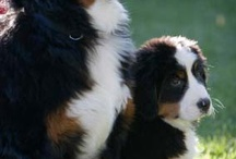 Berner Love / Rhone, Sophie, and Cally; we will always remember you, our beloved canine companions.